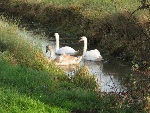 Swans in the stream